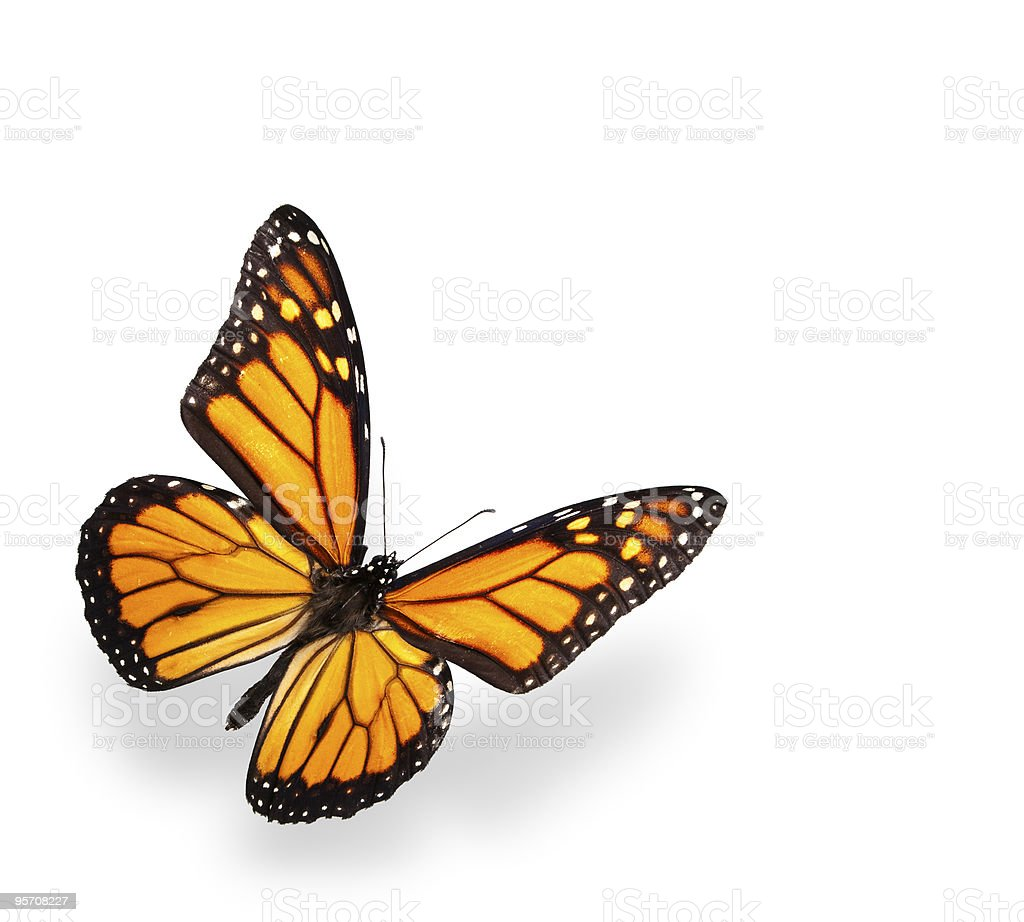Monarch butterfly isolated on white with soft shadow stock photo
