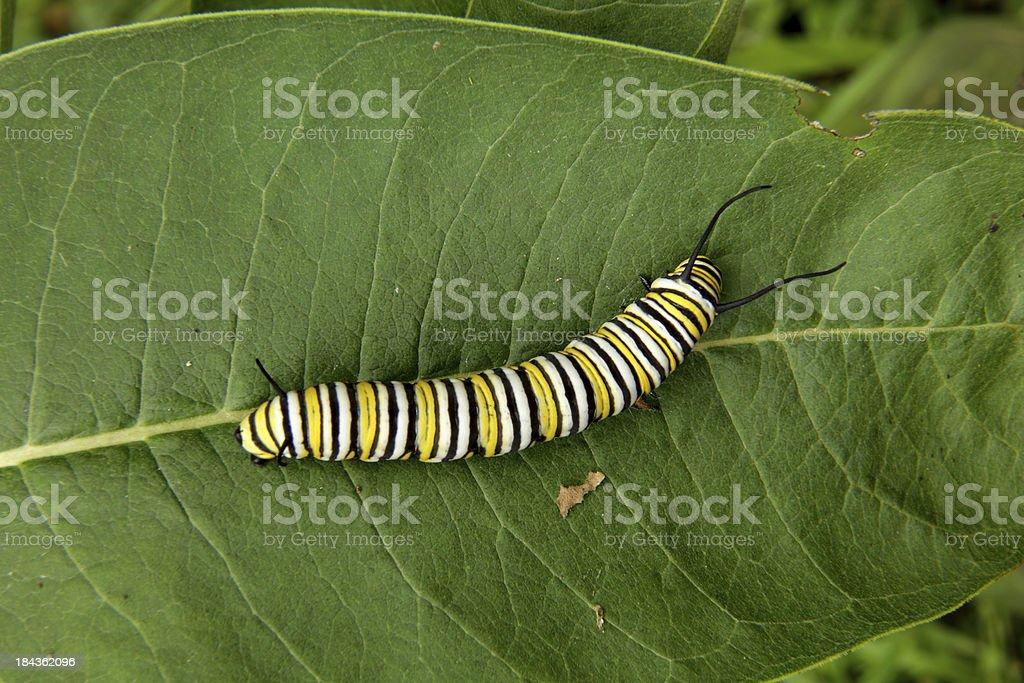 Monarch Butterfly Larva stock photo