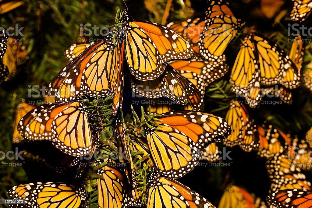 Monarch butterfly (Danaus plexippus) migration royalty-free stock photo