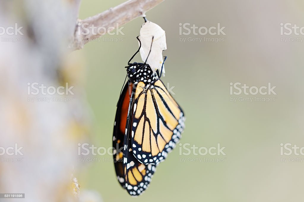 Monarch Butterfly Newly Emerged from Cocoon stock photo
