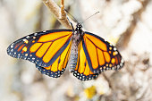 Monarch Butterfly Ninety-nine Minutes after Emerging from Cocoon