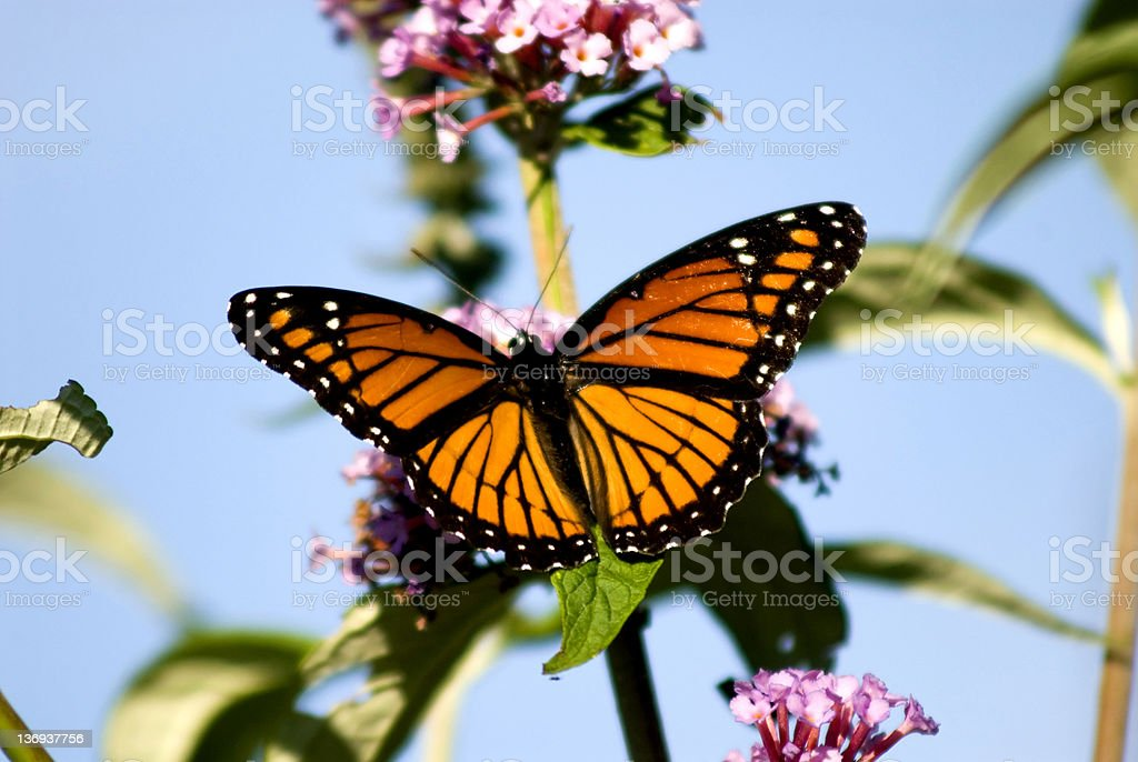 A monarch butterfly on a flower stock photo