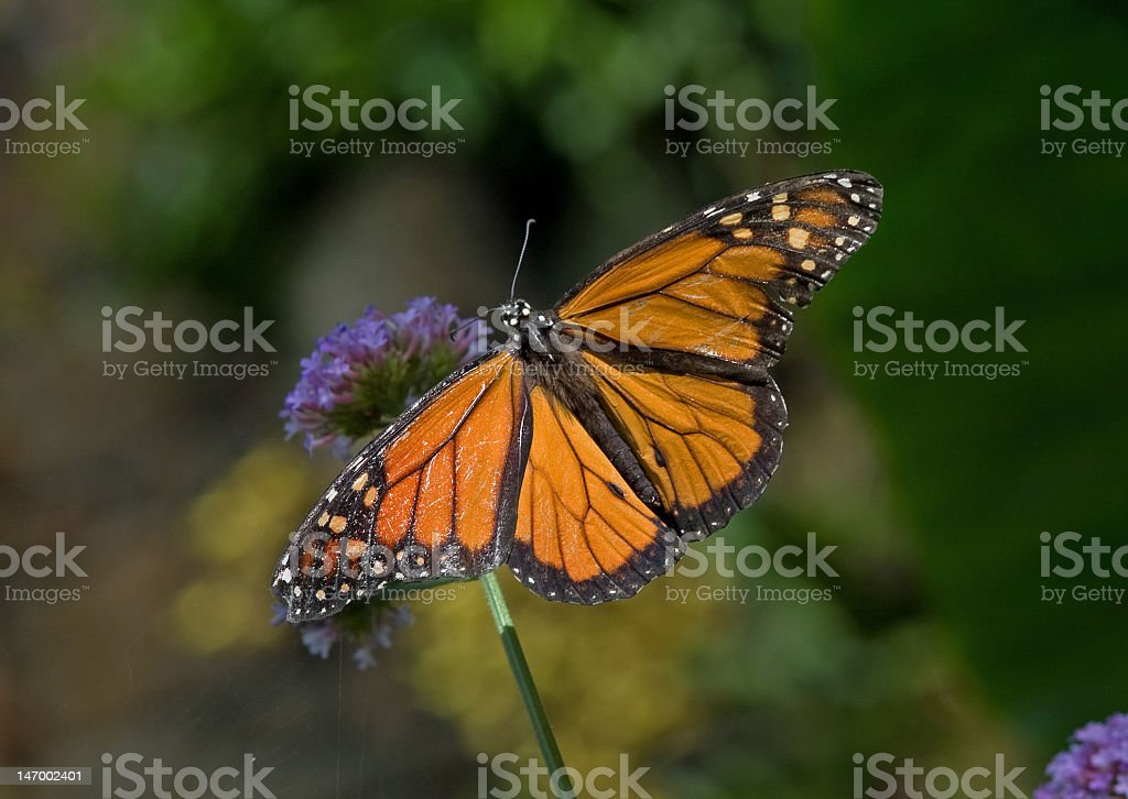 Monarch Butterfly on a Flower royalty-free stock photo