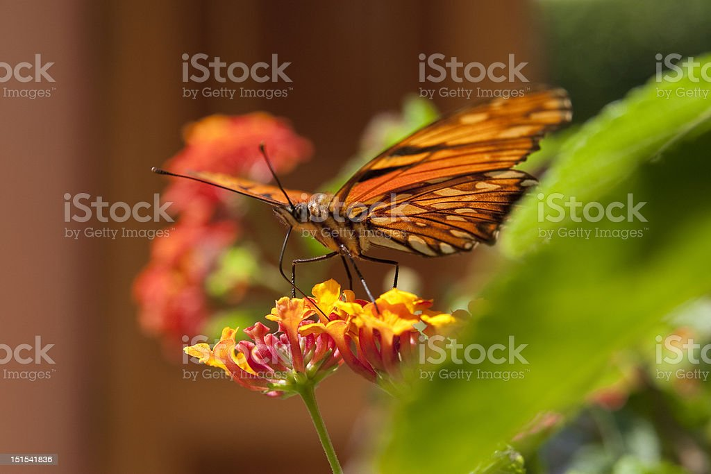 Monarch butterfly on a flower, side view royalty-free stock photo