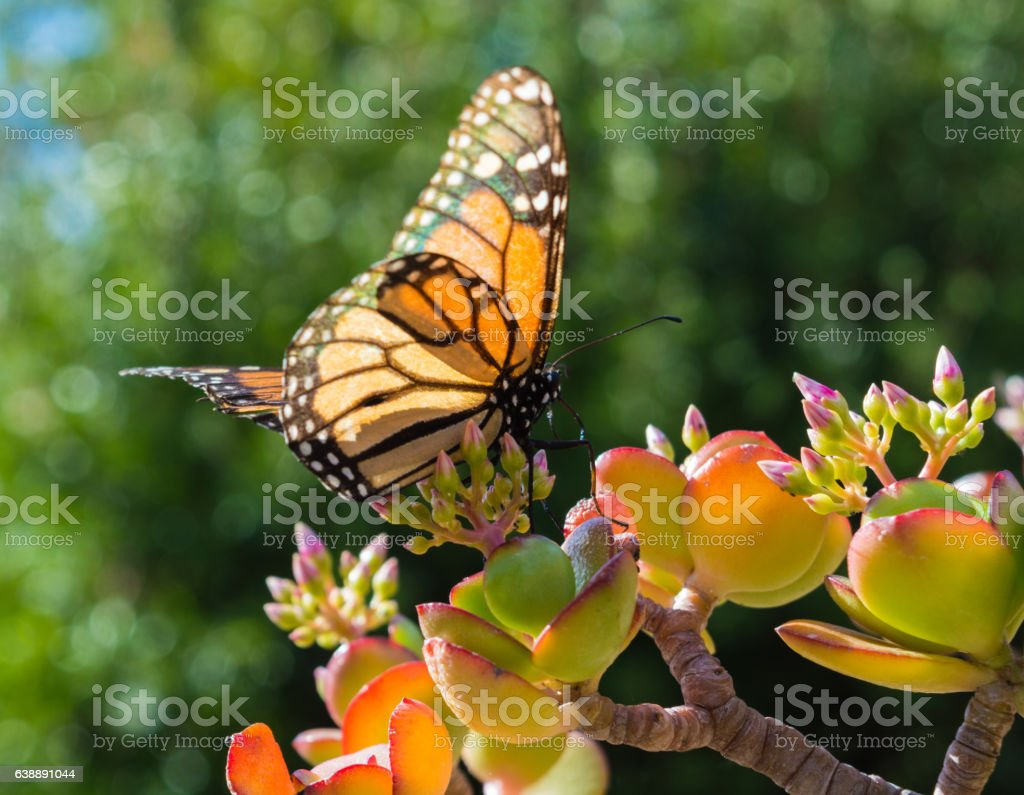 Monarch Butterfly on a Jade Plant stock photo