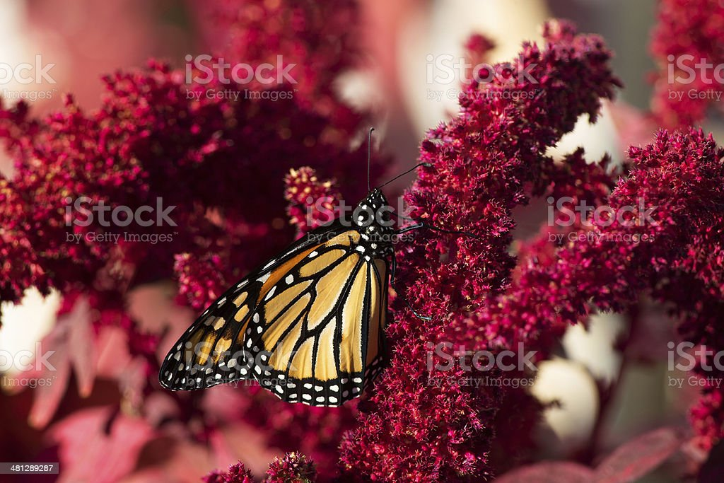 Monarch Butterfly on Amaranth stock photo