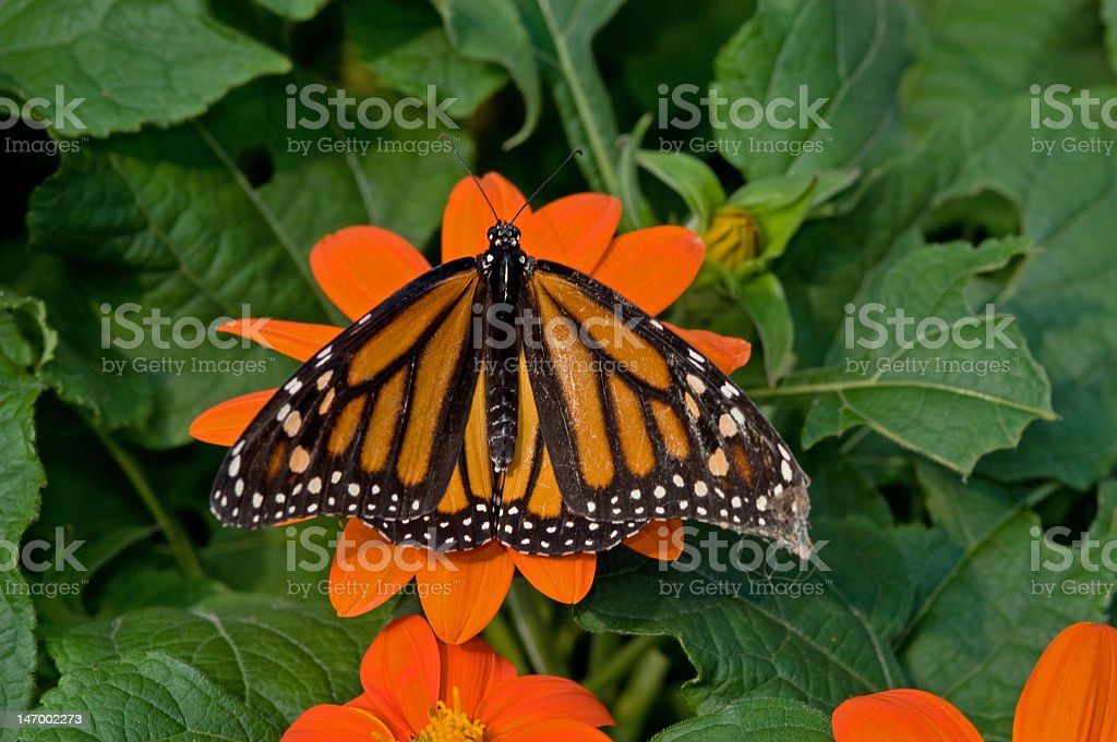 Monarch Butterfly on an Orange Flower royalty-free stock photo
