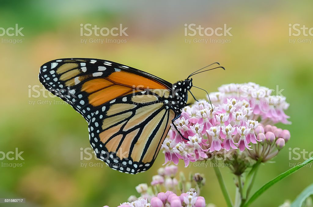 Monarch Butterfly on Butterfly Weed stock photo