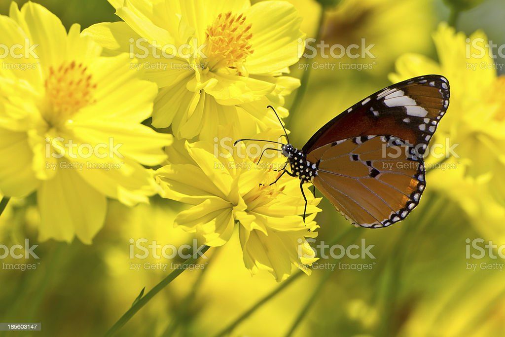 Monarch butterfly on cosmos flower royalty-free stock photo