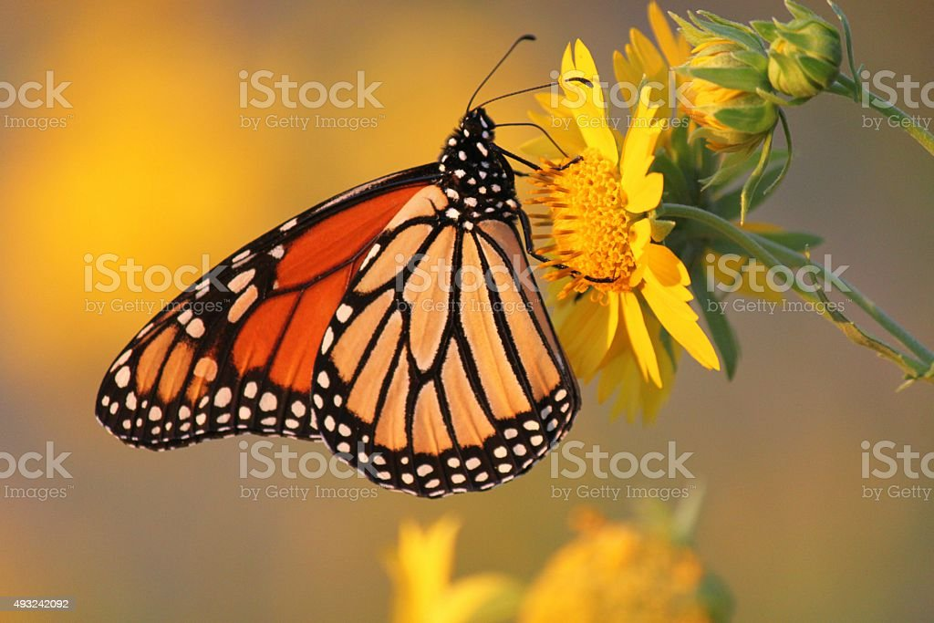 Monarch Butterfly on Daisy stock photo