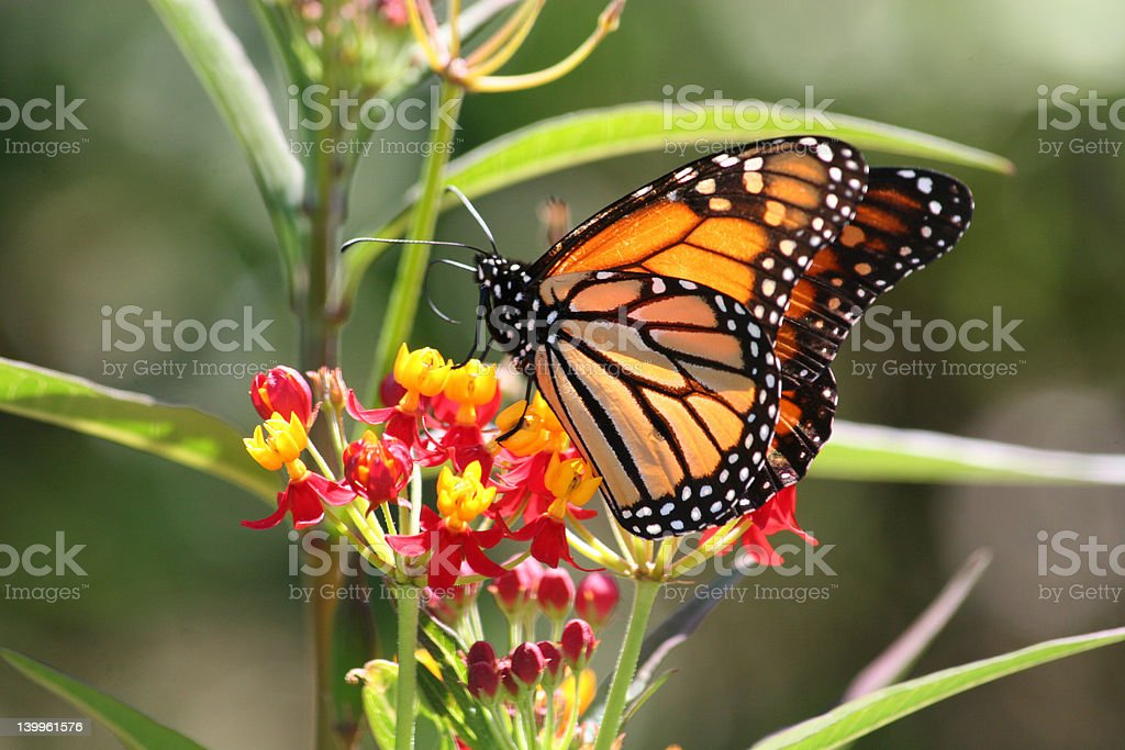 Monarch Butterfly on Flower royalty-free stock photo