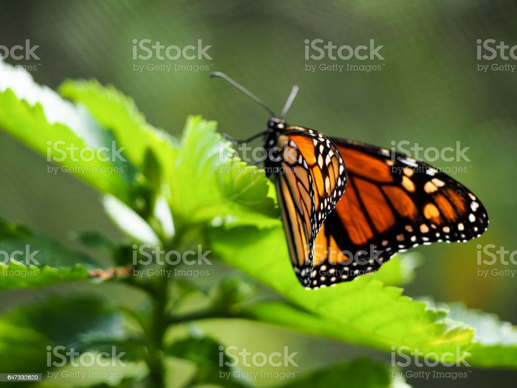 Monarch Butterfly on Leaf stock photo