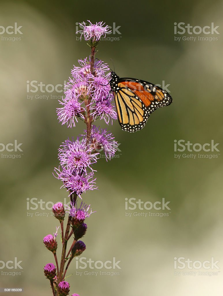Monarch Butterfly on Meadow Blazingstar stock photo