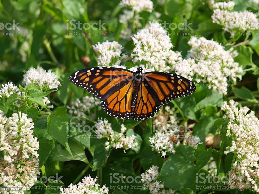 Monarch Butterfly on Migration Flight stock photo
