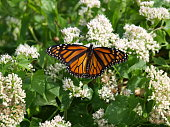 Monarch Butterfly on Migration Flight