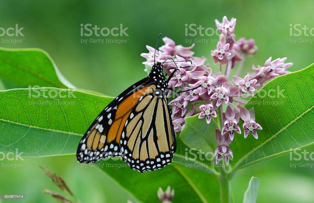 Monarch Butterfly on Milkweed blloom. stock photo