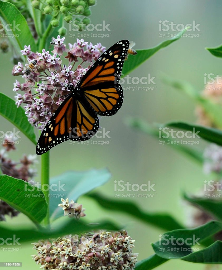 Monarch Butterfly on Milkweed stock photo