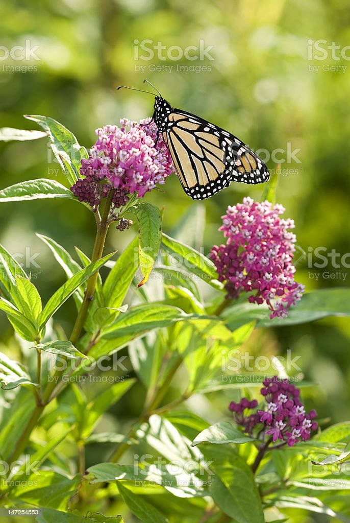 Monarch Butterfly on Milkweed Plant stock photo