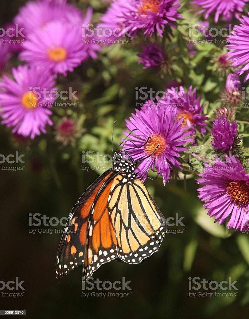 Monarch Butterfly on New England Aster stock photo