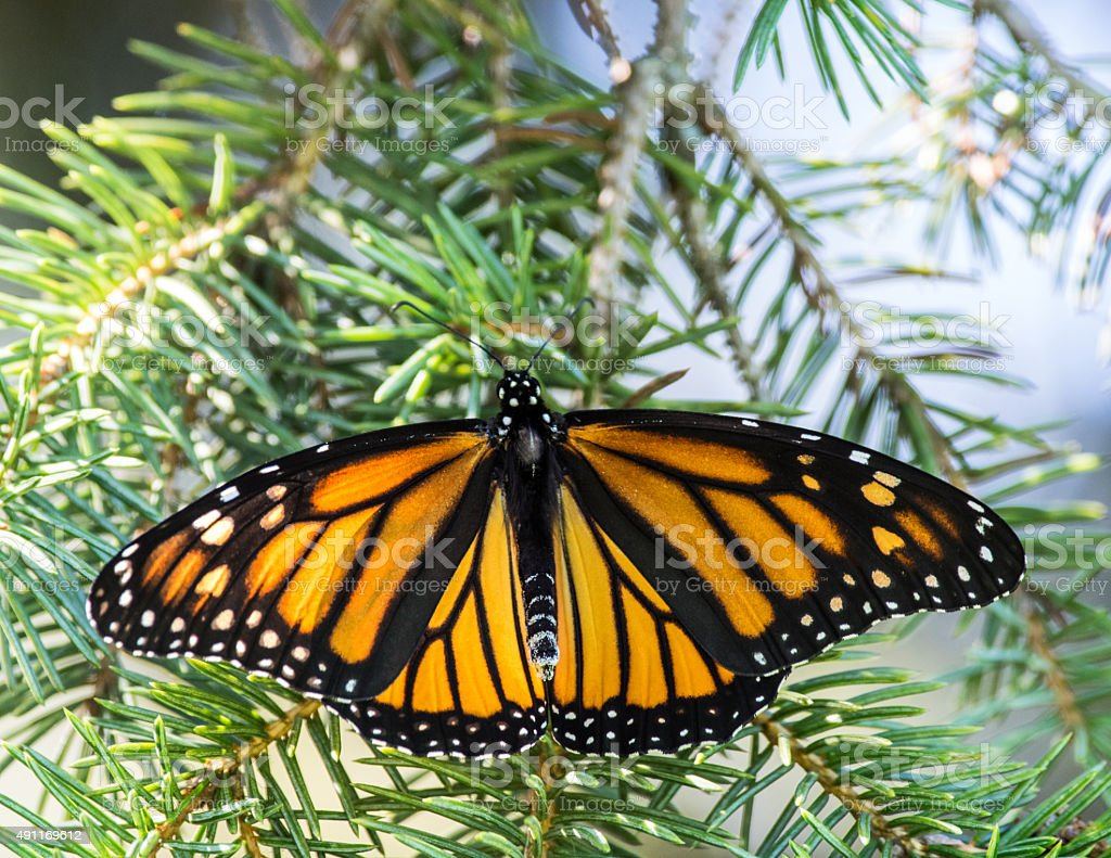 Monarch Butterfly on Pine Tree stock photo