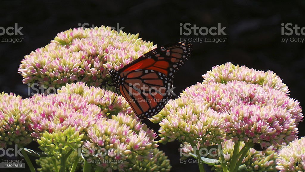 Monarch Butterfly On Pink And White Flowers royalty-free stock photo