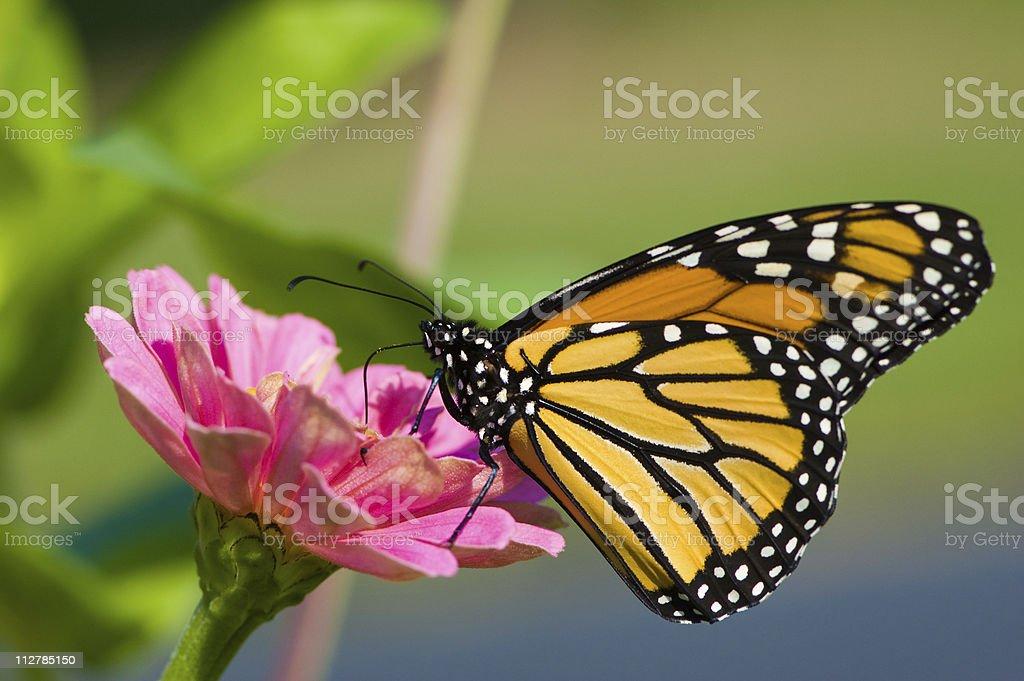 Monarch butterfly on pink flower, Danaus plexippus stock photo