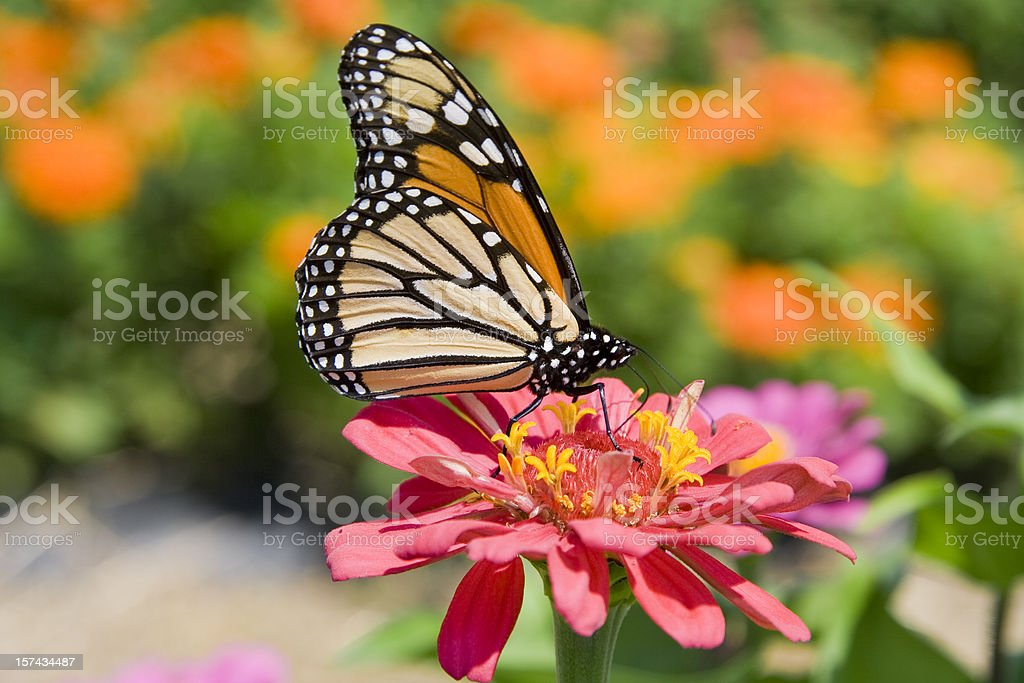 Monarch Butterfly on Pink Flower stock photo