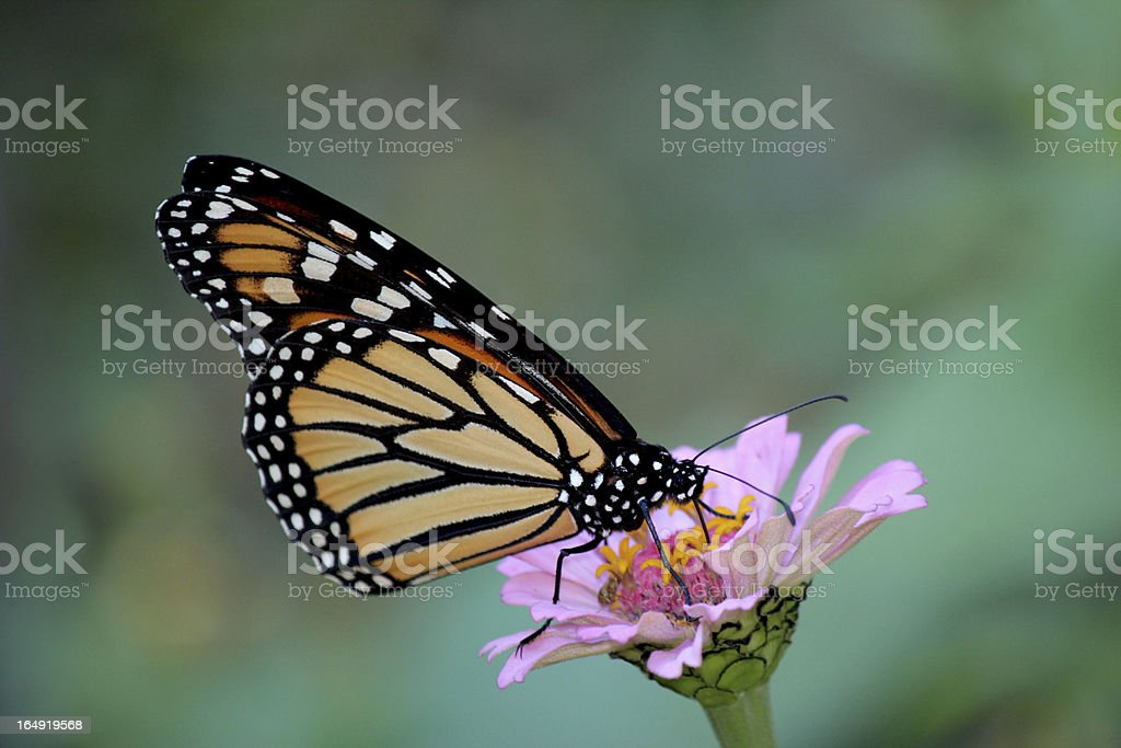 Monarch Butterfly on Pink Flower royalty-free stock photo