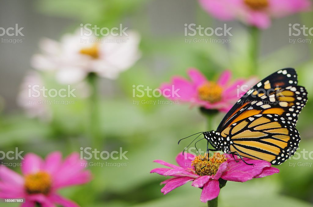 Monarch butterfly on pink zinnia. royalty-free stock photo