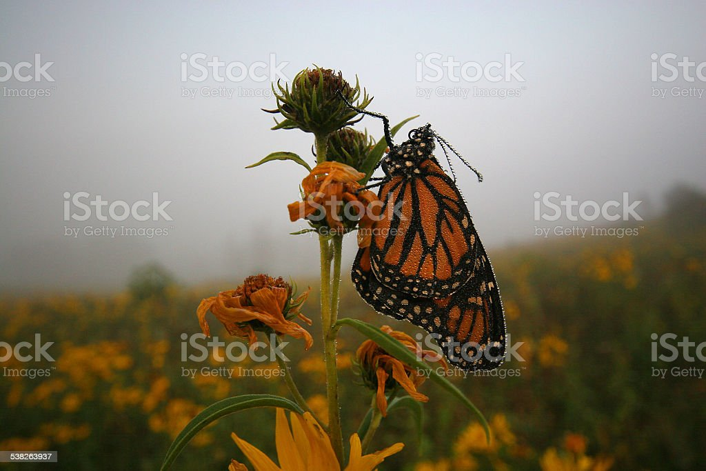Monarch Butterfly on Prairie stock photo