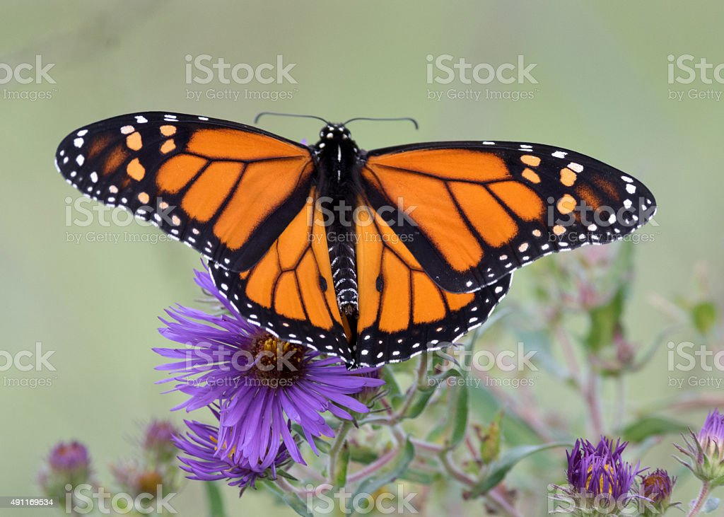 Monarch Butterfly on Purple Aster stock photo