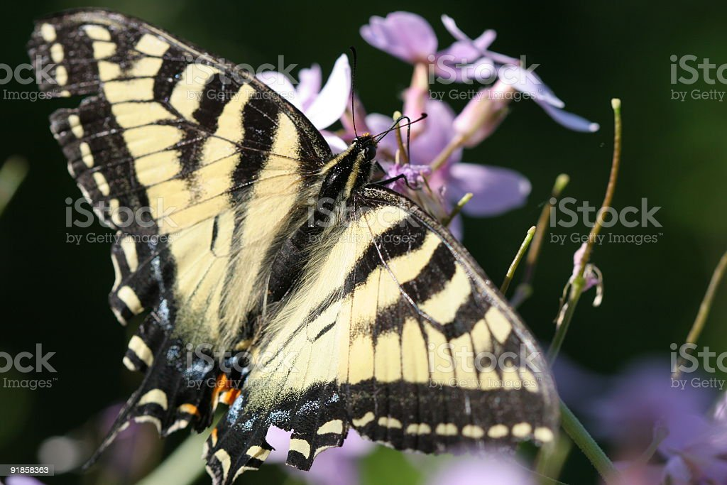 Monarch Butterfly on Purple royalty-free stock photo