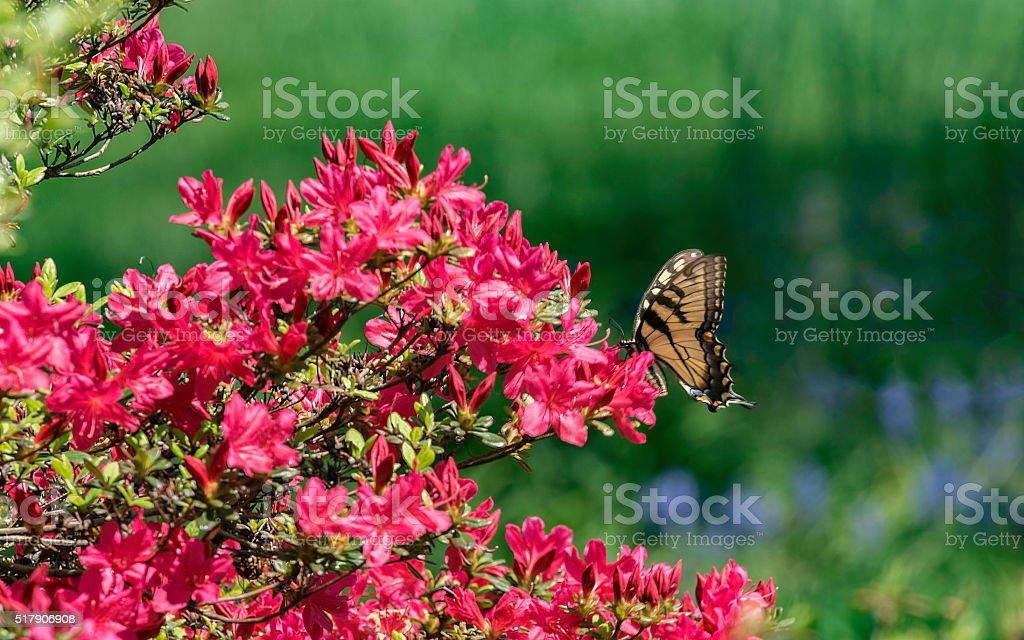 Monarch Butterfly On Red Azalea Bush stock photo