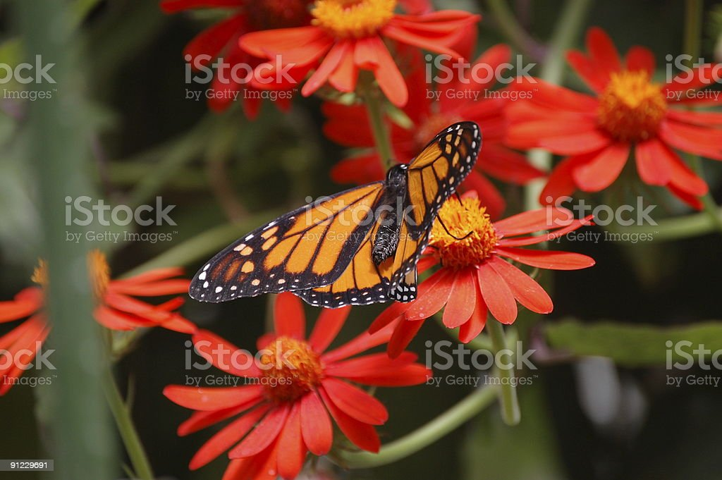 Monarch Butterfly on Red Flowers royalty-free stock photo