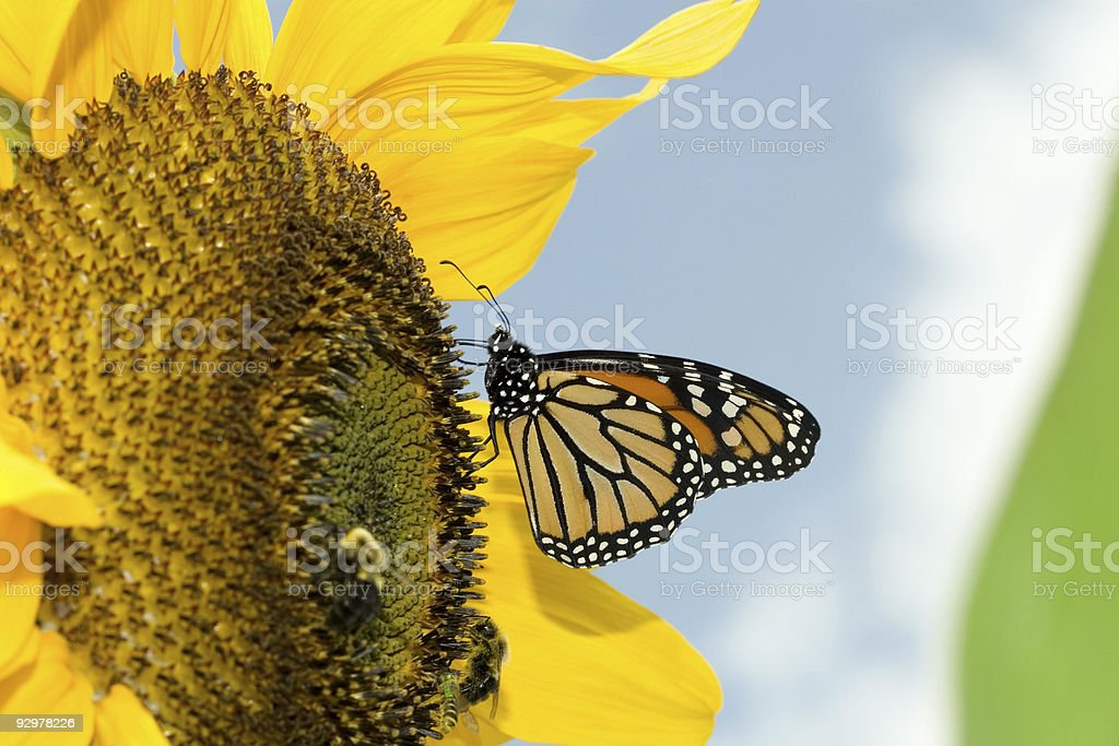 monarch butterfly on sunflower, a.k.a. the unimportance of being busy royalty-free stock photo