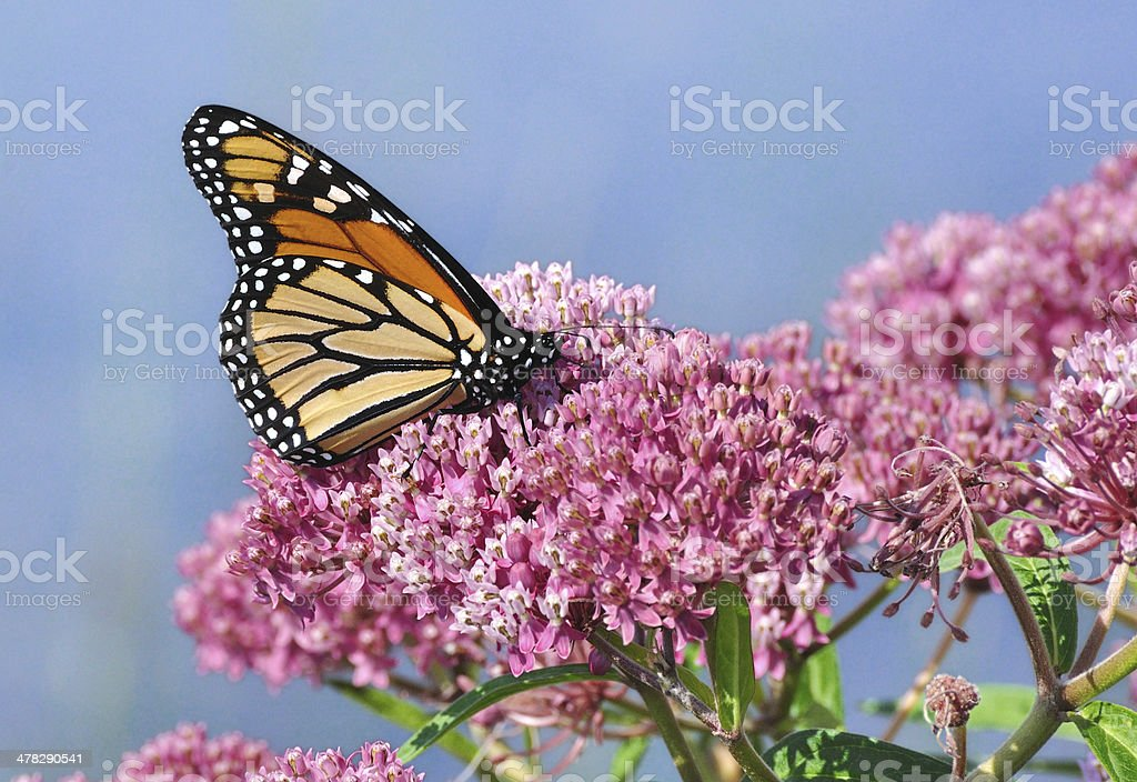 Monarch Butterfly (Danaus plexippus) on Swamp Milkweed Wildflower stock photo