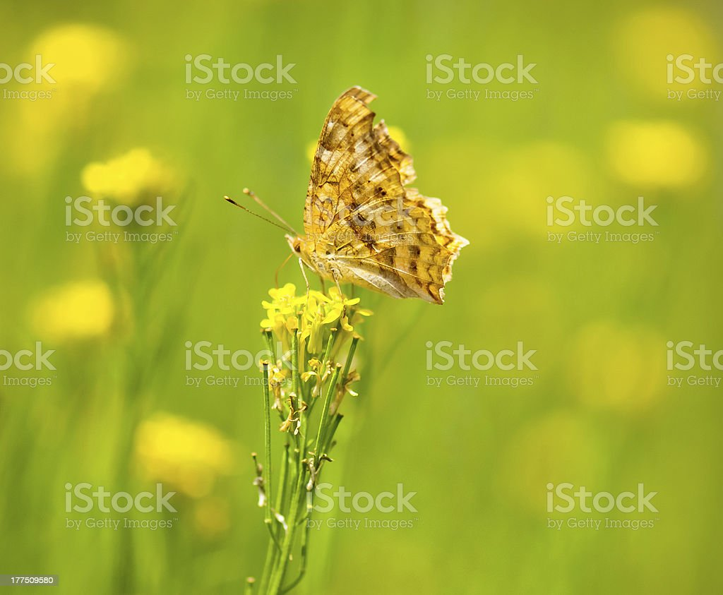 monarch butterfly on the yellow flower at summer meadow stock photo