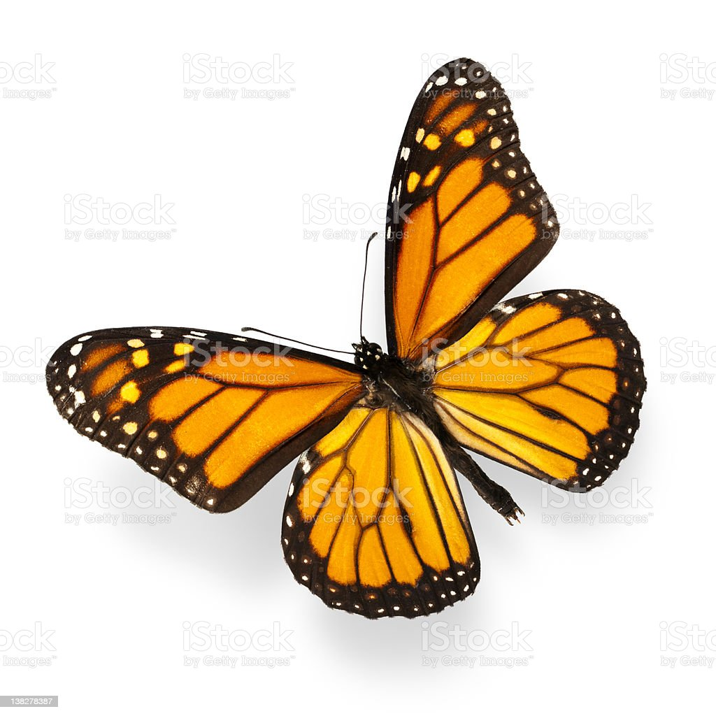 Monarch butterfly on white background stock photo