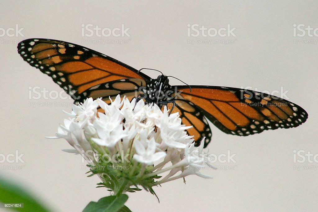 Monarch Butterfly on White Penta Flower stock photo