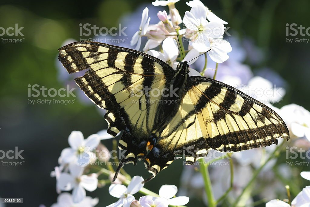 Monarch Butterfly on White royalty-free stock photo