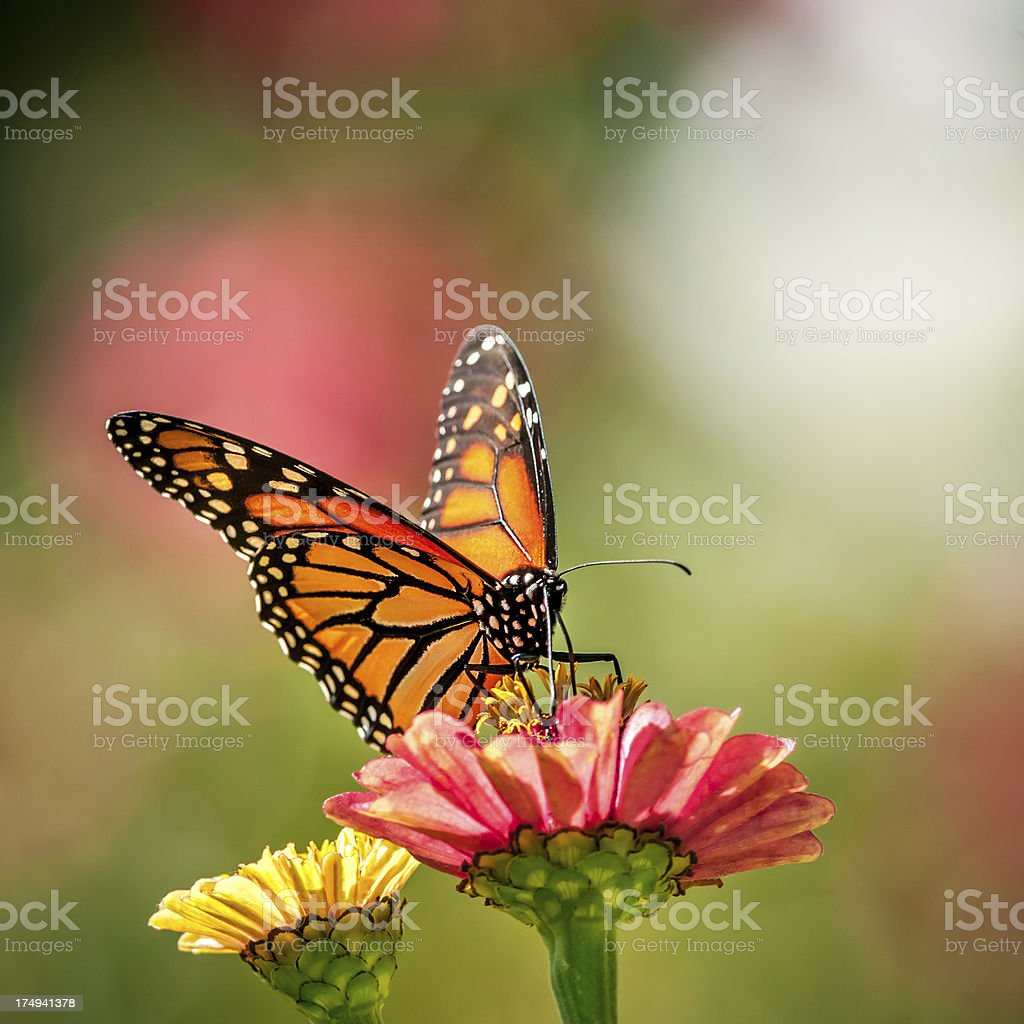 Monarch butterfly on Zinnia flower - III stock photo
