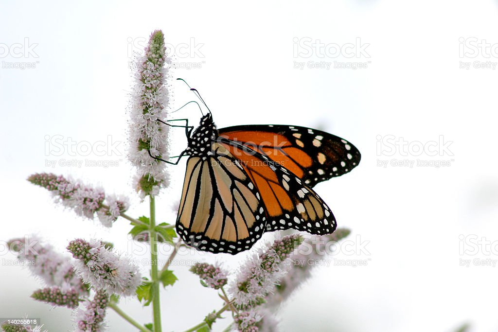 A monarch Butterfly perched on a flower royalty-free stock photo