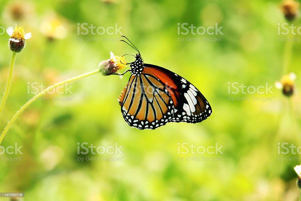 Monarch Butterfly Lizenzfreies stock-foto