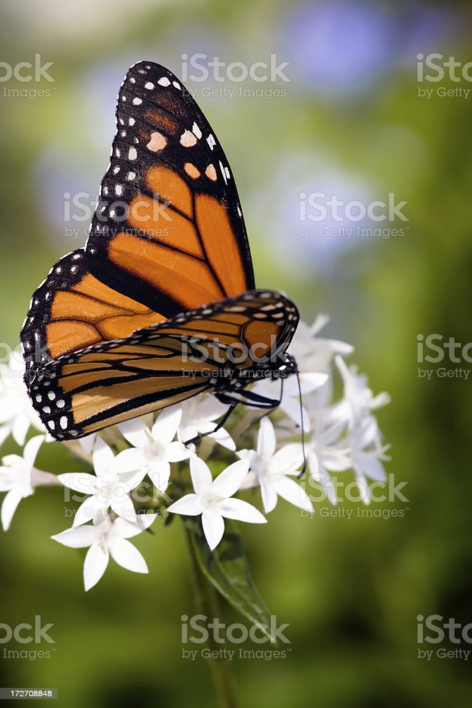 monarch butterfly royalty-free stock photo
