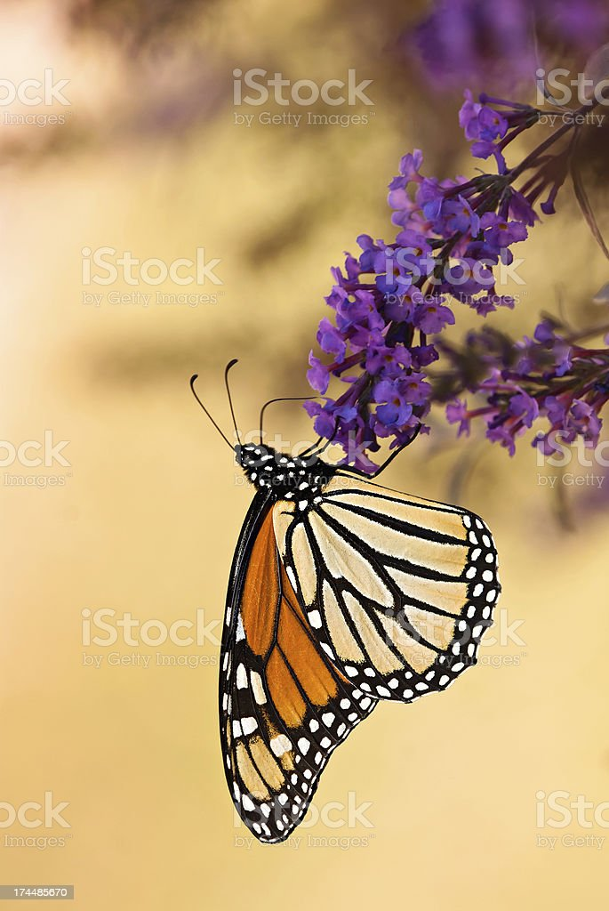 Monarch butterfly (Danaus plexippus) royalty-free stock photo