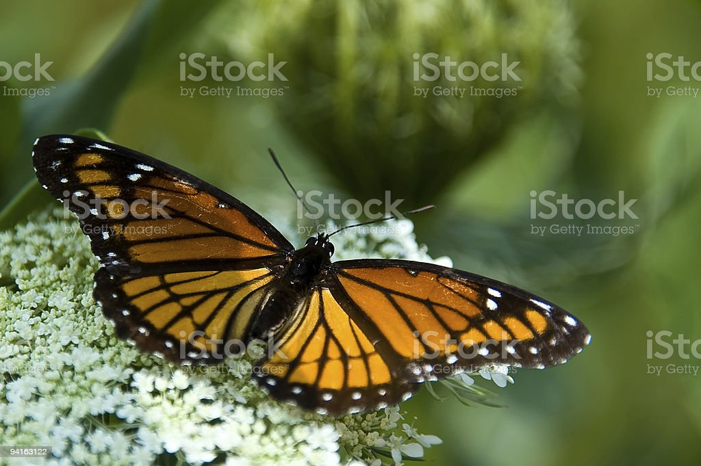 Monarch Butterfly Pollinating a Queen Annes Lace Flower stock photo