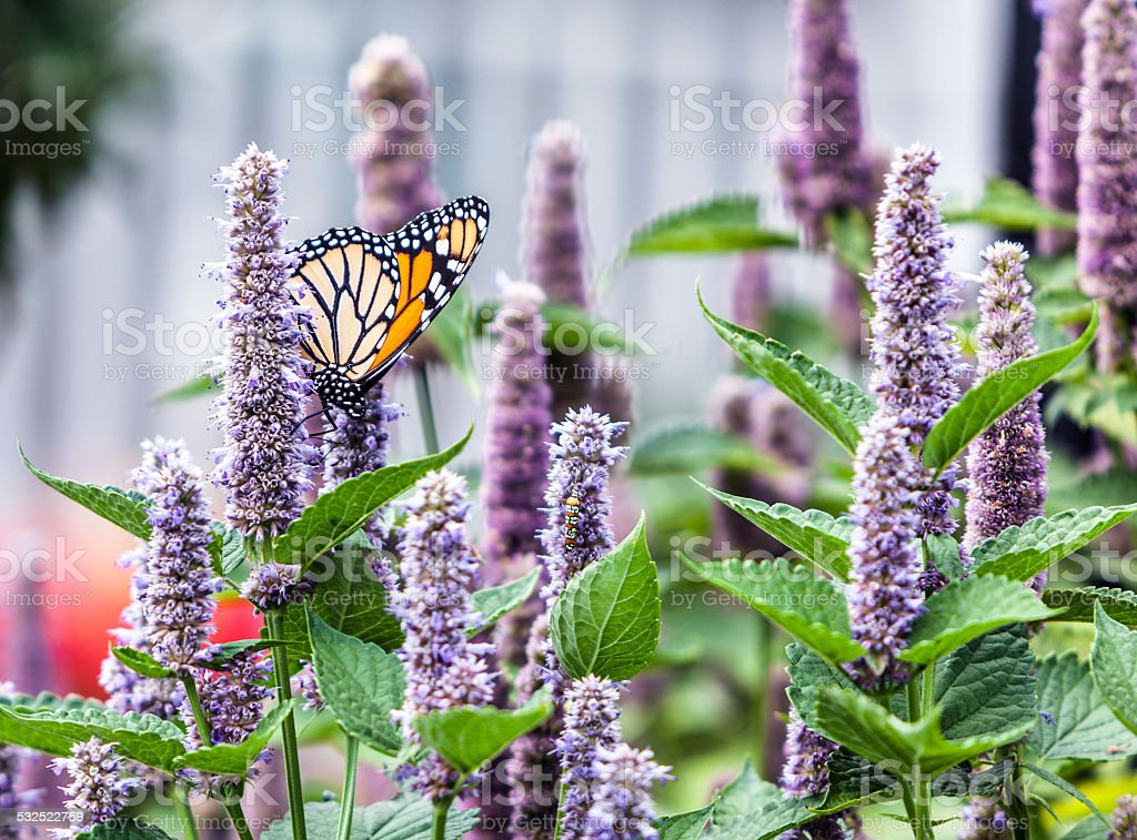 Monarch Butterfly (Danaus plexippus) Pollinating Lavender Anise Hyssop Blossom stock photo