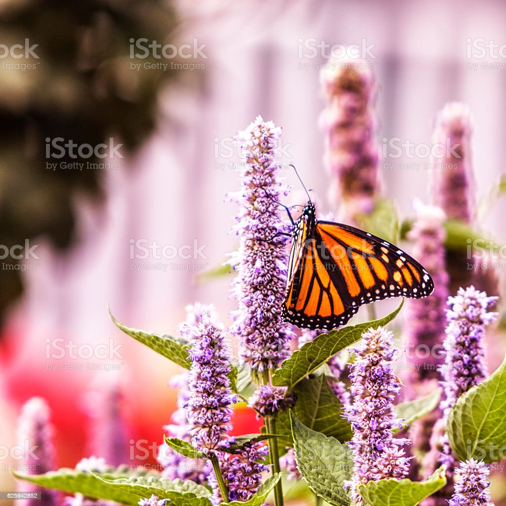Monarch Butterfly Proboscis Pollinating Hyssop Plant Flower Blossom stock photo