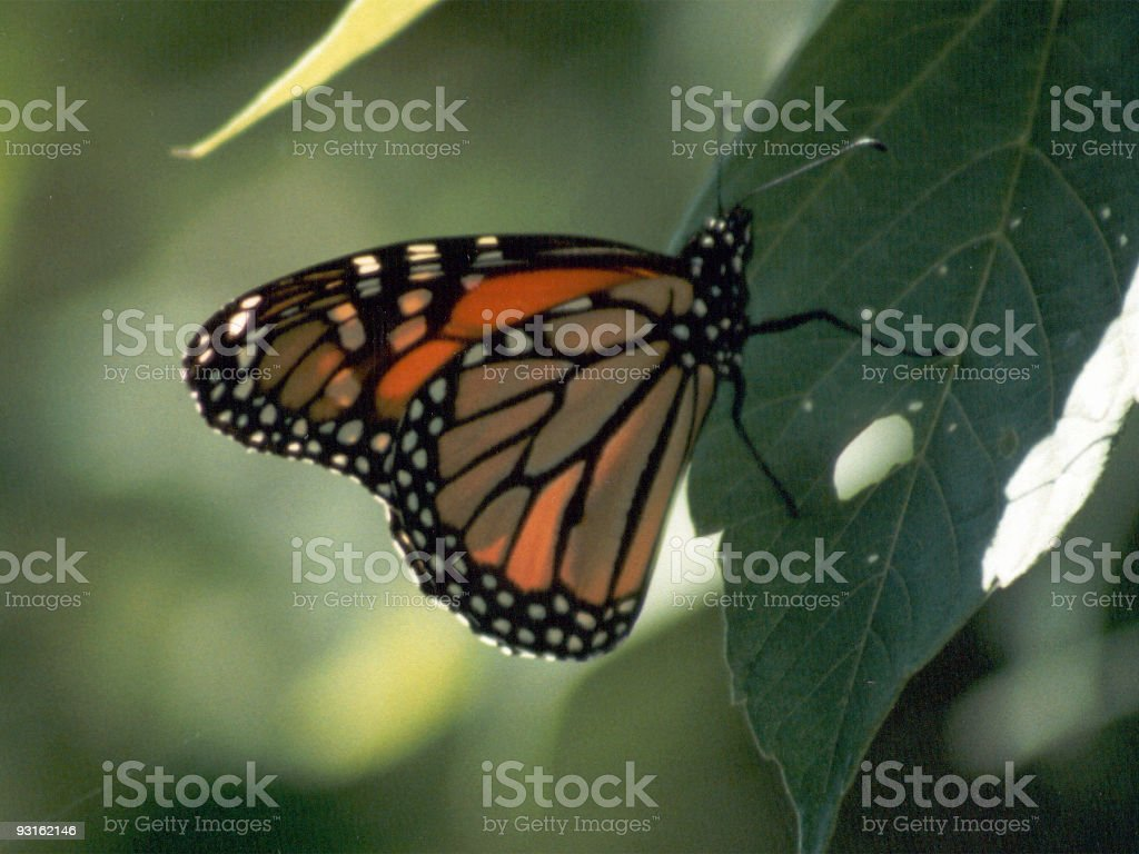 Monarch butterfly resting on a leaf royalty-free stock photo