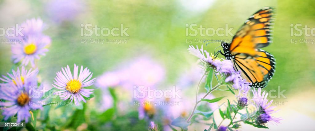 Monarch Butterfly Resting on Aster Flower in Field stock photo
